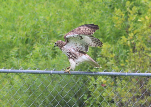 Red tailed hawk on the back fence