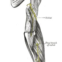 Anatomie of the arm, shibari safety information