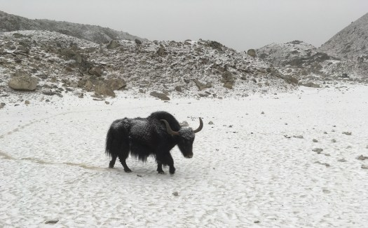 Luca Giancola Yak in snow