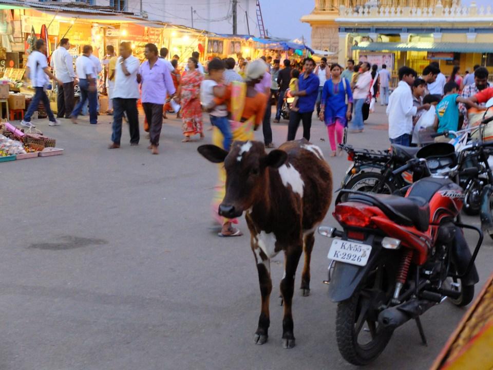 Mysore vache