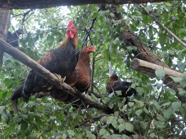 Le poulailler : les poules grimpent au prunier via une échelle pour la nuit. pour le moins surprenant !
