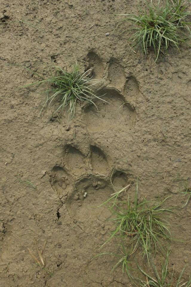 bardia tiger prints