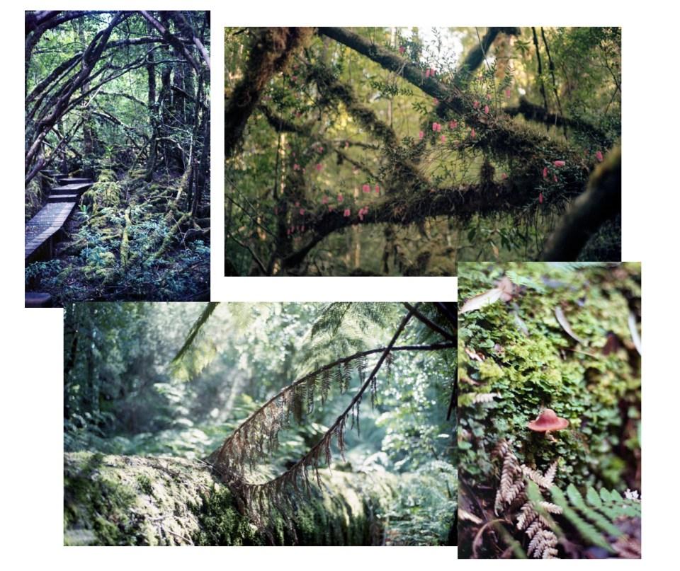 Tasmanie rainforest