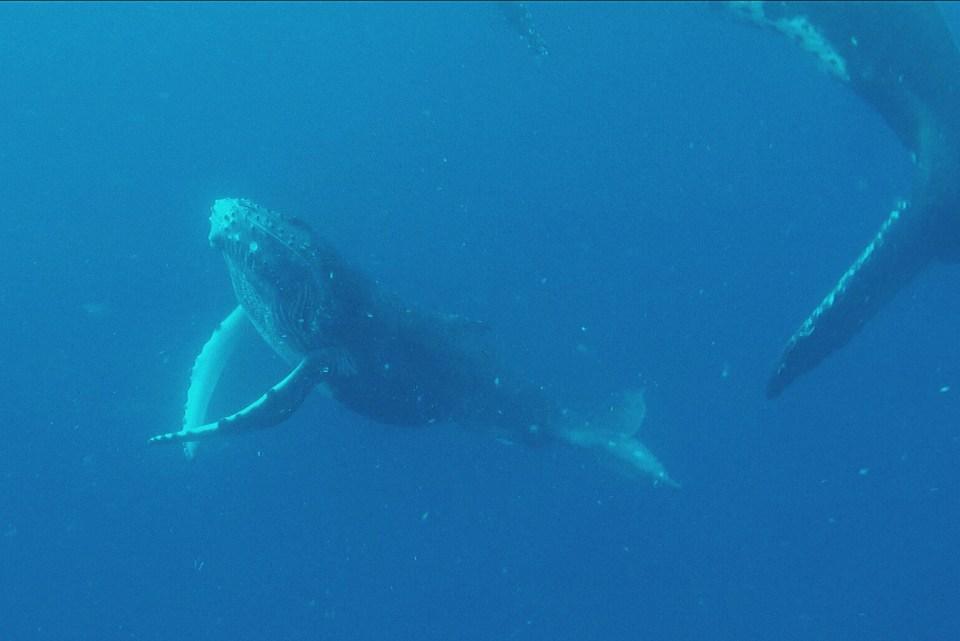 nager avec les baleines tonga ethique
