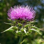 Milk Thistle (Silibinin) Protects Against Skin Cancer