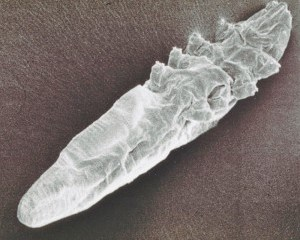 Demodex Mites are as old a human origins