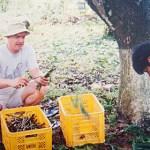 Mango scions from Guimaras