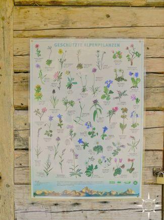 geschützte Alpenpflanzen