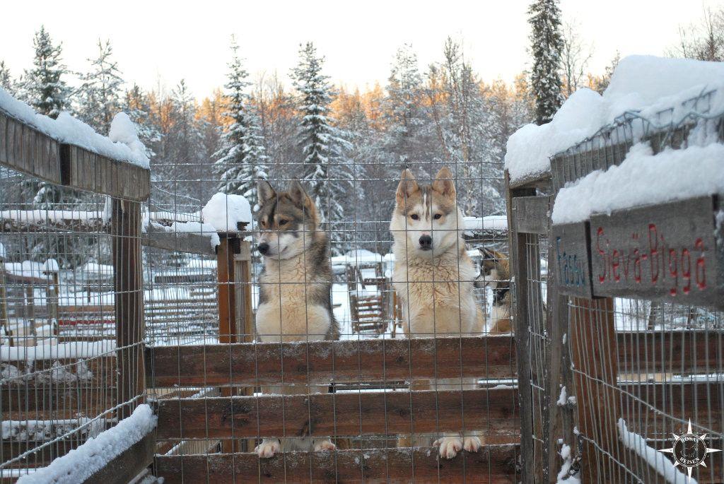 Finnland Lappland Arktis Schlittenhunde Husky