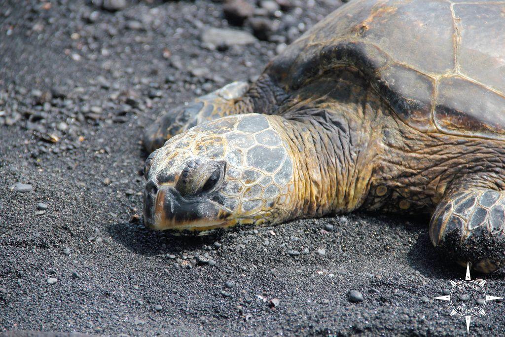 Tipps Reise Hawaii Big Island Schildkröte
