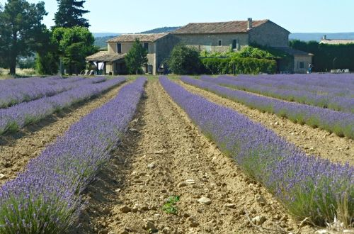 frankreich-provence-lavendel