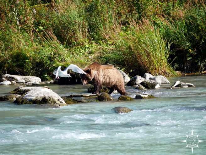 Rosas-Reisen-Roadtrip-Kanda-Alaska-Baeren-Haines