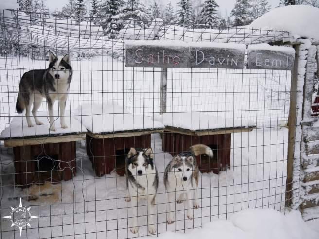Rosas-Reisen-Finnland-Schlittenhunde-Verbotene-Liebe