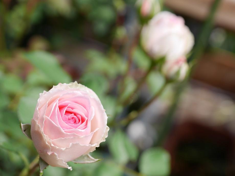 白バラ「ミミ・エデン」の8分咲きを写した美麗な写真。