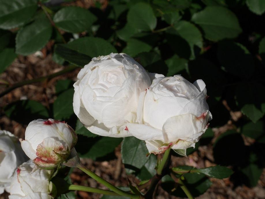 「粉粧楼」の花姿。