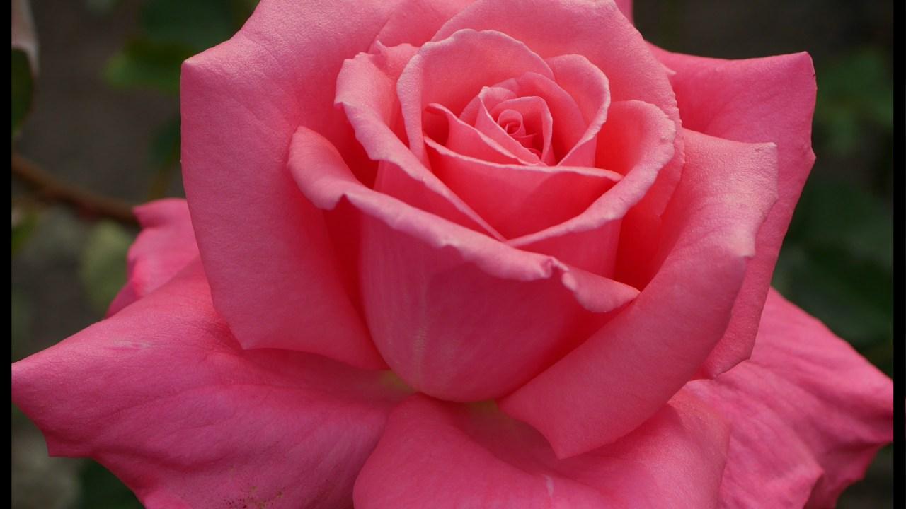 当サイトのコンテンツ「とろけるほどに甘いダマスク・クラシックのバラ[芳純]の栽培実感」のアイキャッチ画像