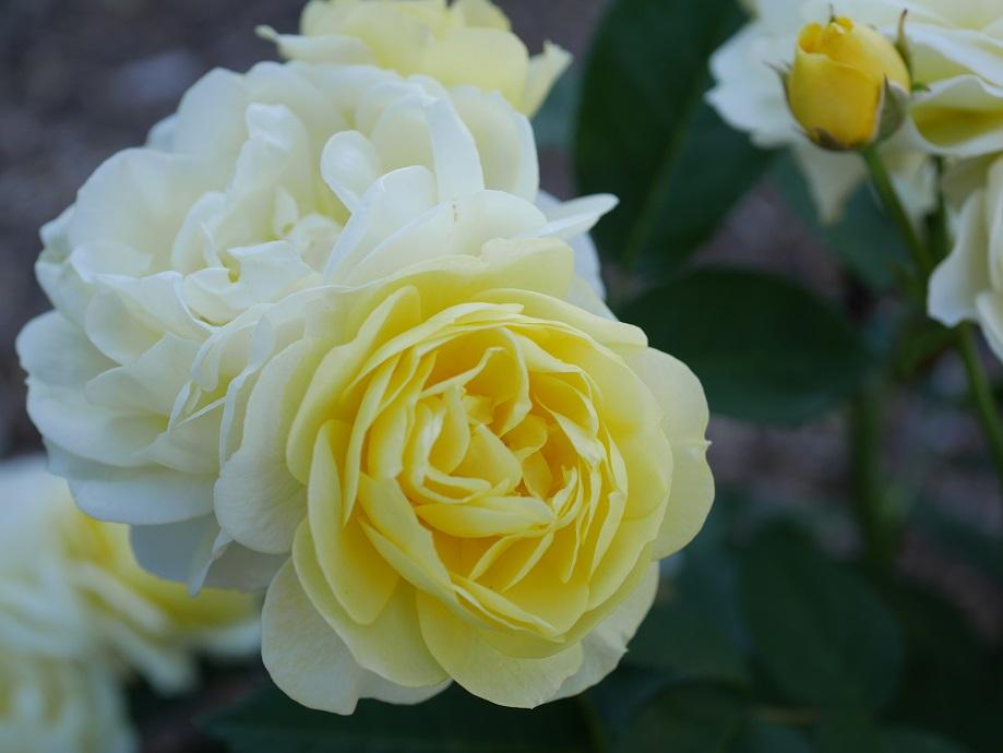 「ゴールデン・ボーダー」の花姿。
