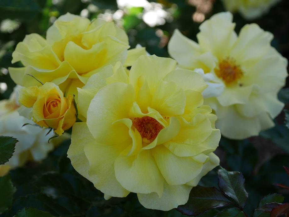 「サン・フレーア」の花姿。