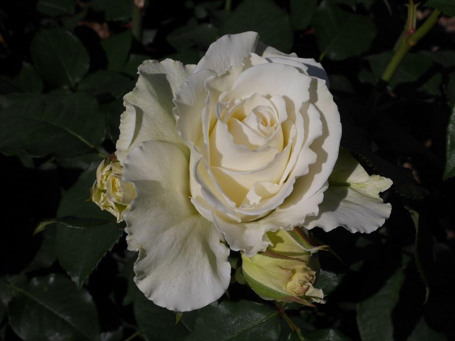 「ティネケ」の花姿。
