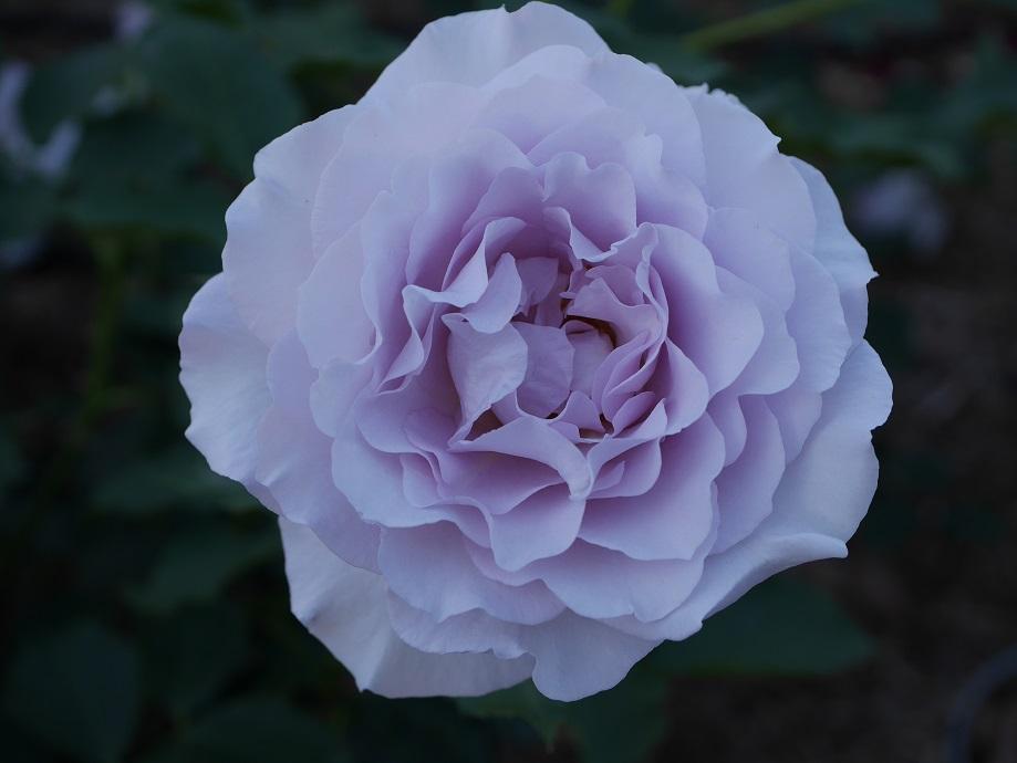 ニュー・ウェーブが1輪映った花姿。