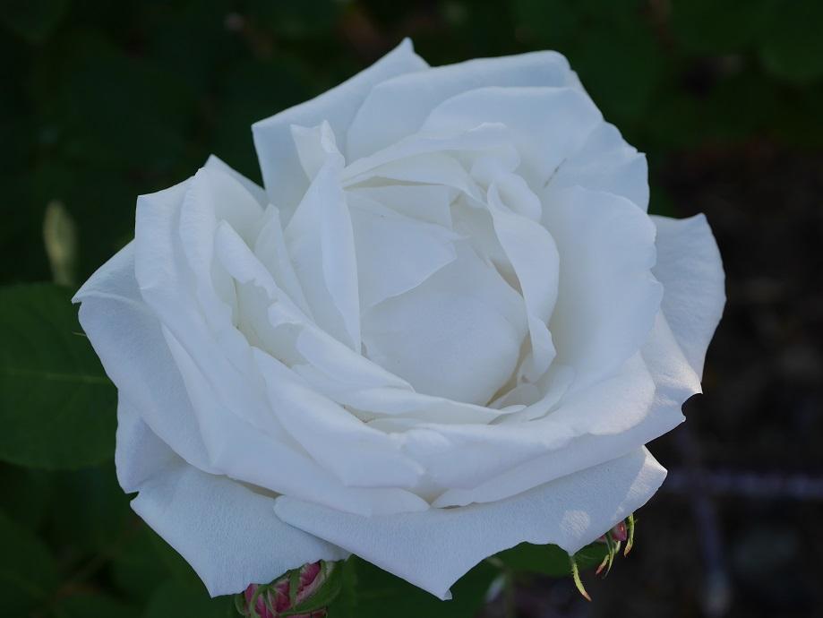 「フラウ・カール・ドルシュキ」の花姿。
