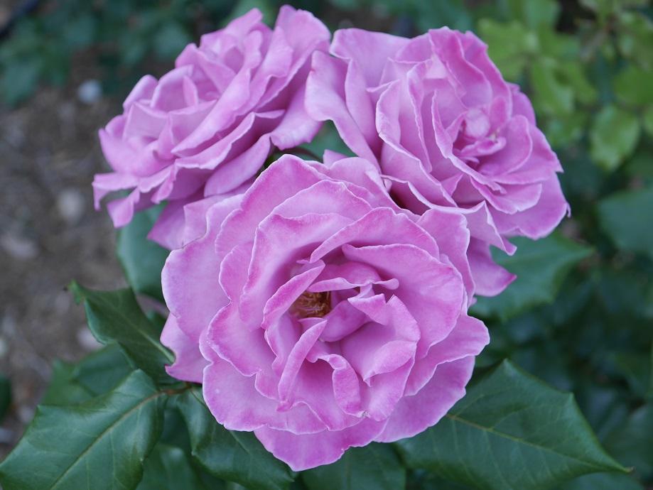「ムーン・シャドゥ」の花姿。