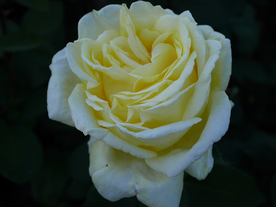 「ローズ・ヨコハマ」の花姿。