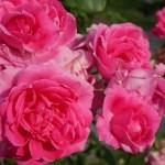 果汁感がある黒星病に負けないつるバラ。花の[パレード]の栽培実感