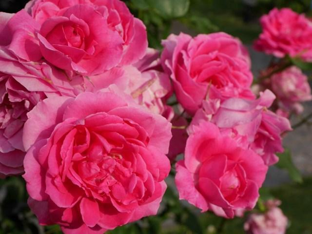 つるバラ「パレード」(濃いローズ色のカップ咲き)の満開の花姿。[撮影者:花田昇崇]