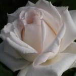 まるで天女の羽衣。大輪系白バラ[エレーヌ・ジュグラリス]の栽培実感