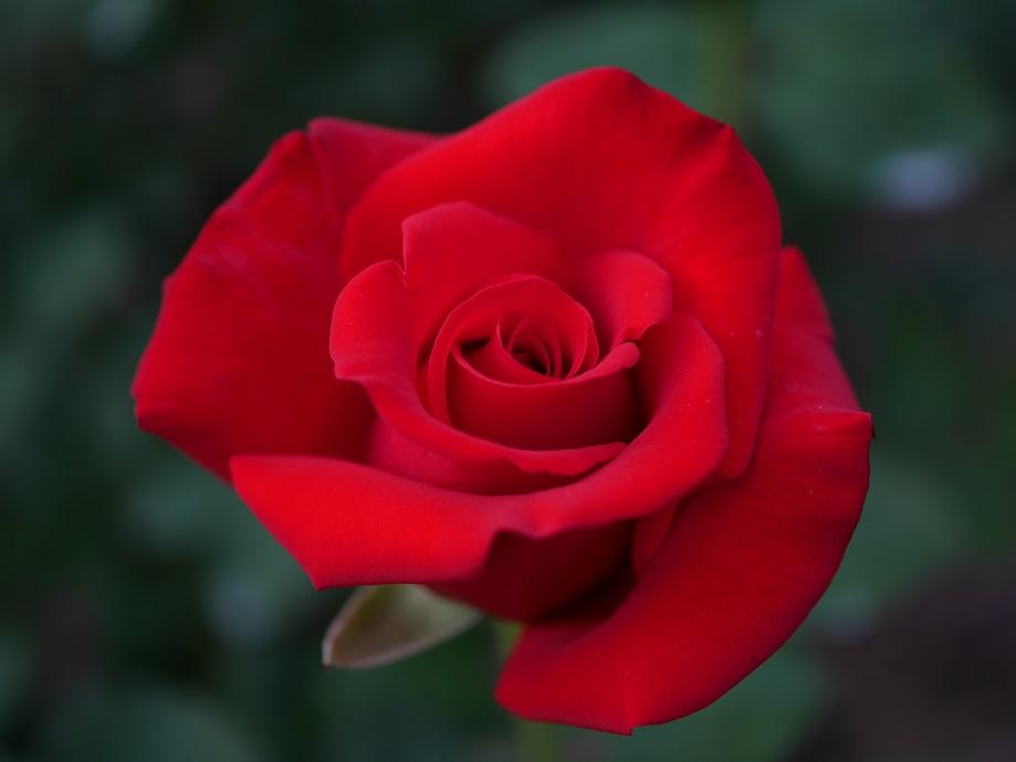 「カーディナル」の8分咲きの美しい花姿。[撮影者:花田昇崇]