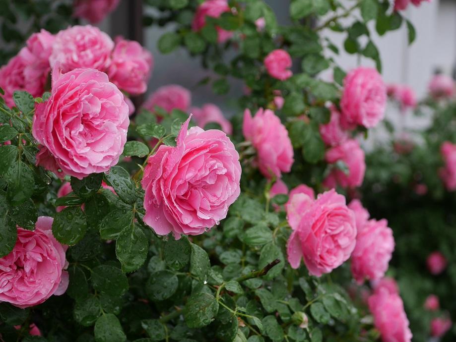 ローズピンクのバラ「レオナルド・ダ・ヴィンチ」が咲き誇る写真。
