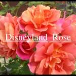 夢と魔法の世界のバラ[ディズニーランド・ローズ]の栽培実感