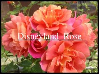 当サイトのコンテンツ「夢と魔法の世界のバラ[ディズニーランド・ローズ]の栽培実感」用のアイキャッチ画像