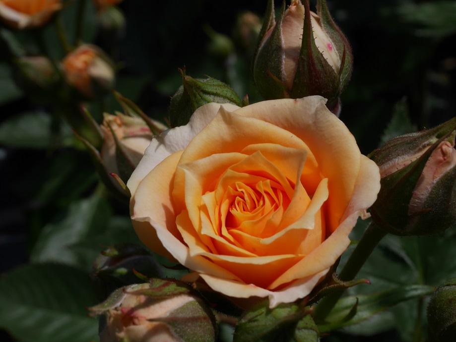 「オレンジホビット」(ミニアチュア)の8分咲きの花姿。[撮影者:花田昇崇]