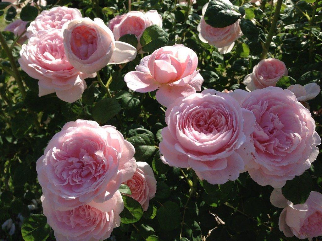 イングリッシュローズ「クィーン・オブ・スウェーデン」の満開の花姿。デビットーオースチン・ローゼズで撮影した。