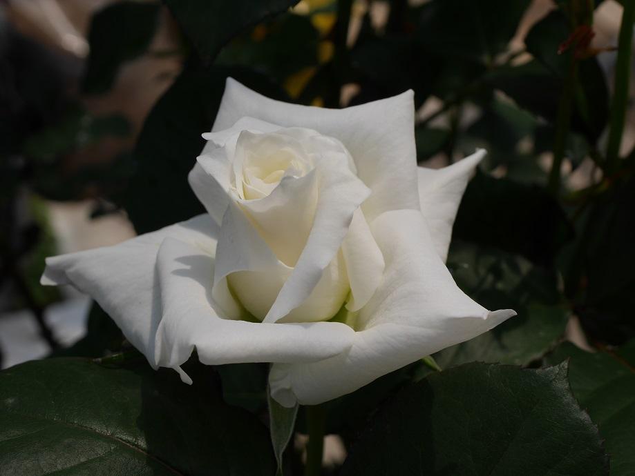 白い「パスカリ」の8分咲きの花姿。