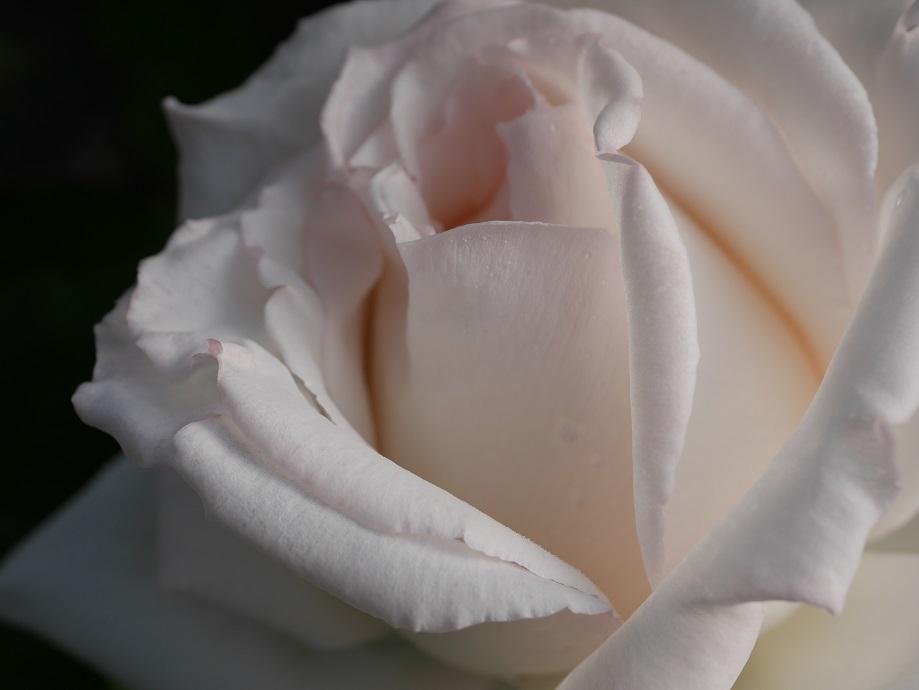 シルクのような肌触りがわかる「エレーヌ・ジュグラリス」の8分咲きの花びら。