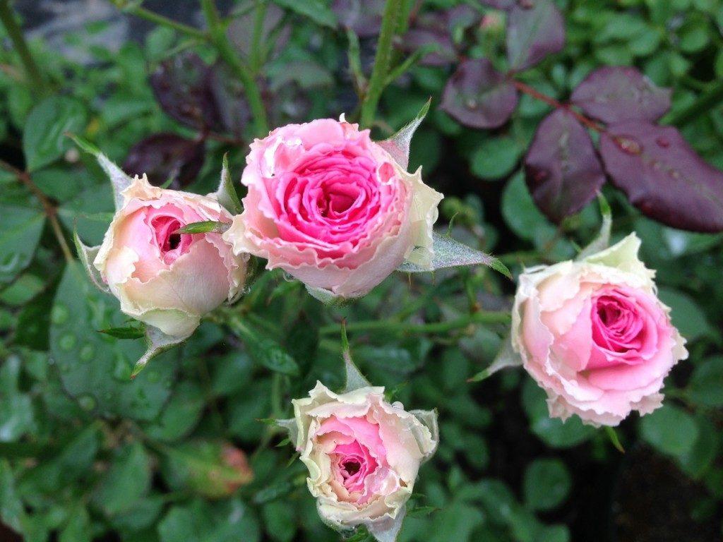 「ミミ・エデン(Mimi Eden)」の開花姿を4輪写した。