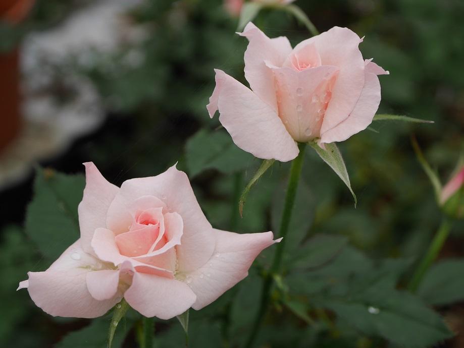 バラ「ブライダル・ピンク」の8分咲きの花姿が2輪写っている。