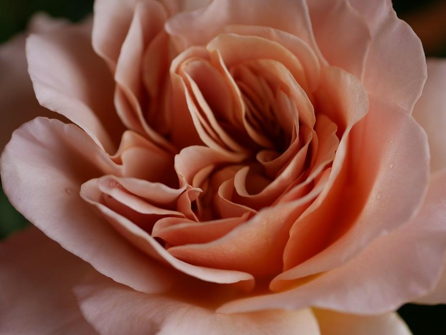 8分咲きの「カフェ・ラテ」の花姿の中心部の巻きを拡大した。