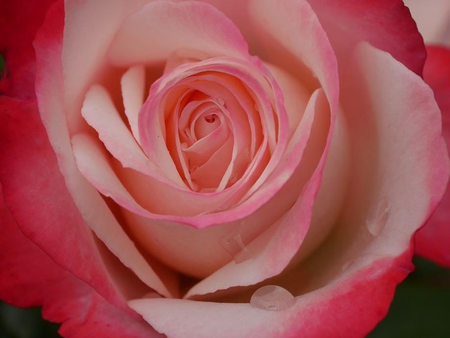 「ノスタルジー」の花の中心部。