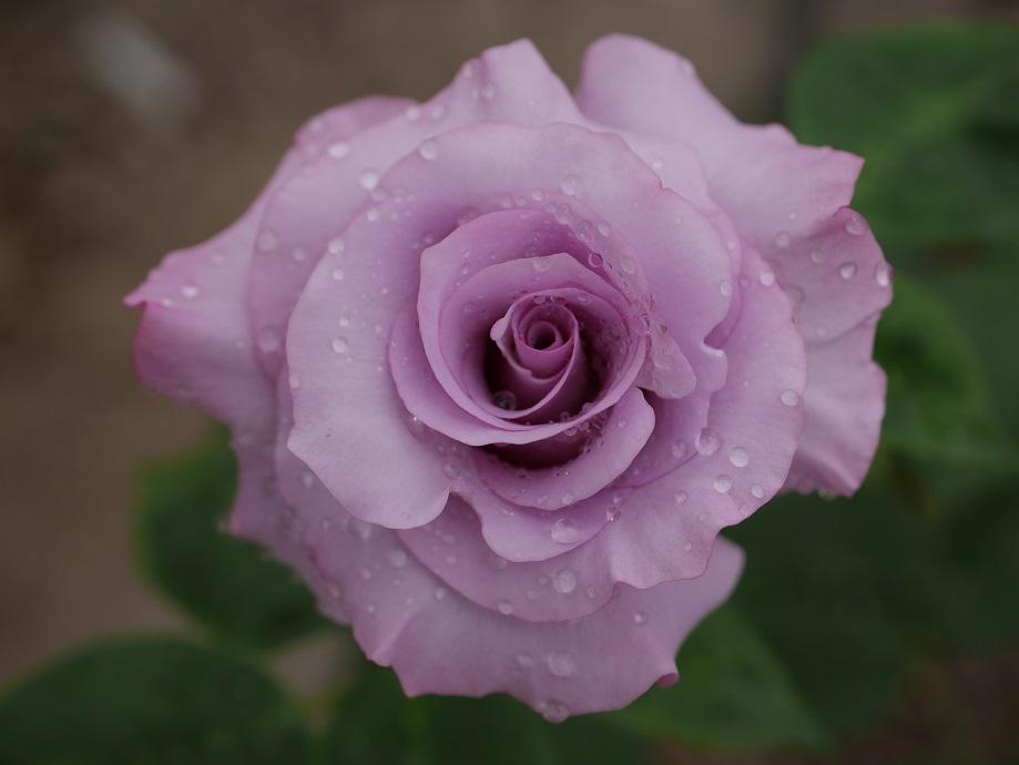 外弁にやや赤みがはいるが全体的にはラベンダー色の「ディオレサンス」の8分咲きの花姿。[撮影者:ローズフェスタ]