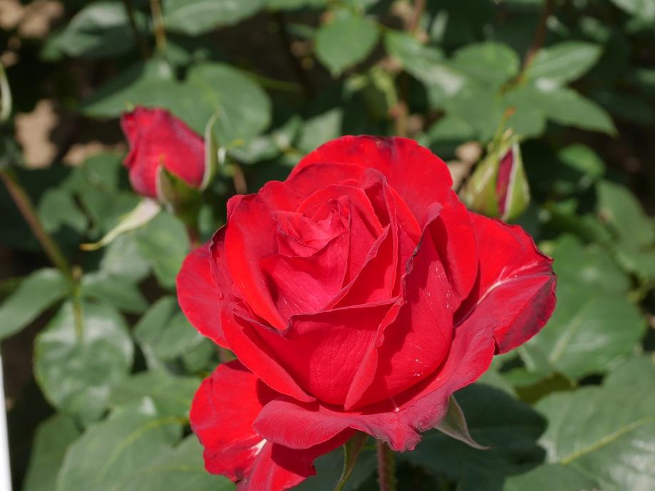 「エースオブハーツ」の8分咲きの花姿。