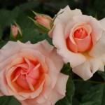うどんこ病に強い強香のバラ[フレグラント・アプリコット]の栽培実感