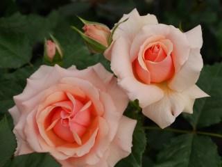 アプリコット色のバラ「フレグラント・アプリコット」の8分咲きの花姿。