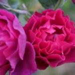 その花色に魔性が宿る。バラ[オデュッセイア]の栽培実感