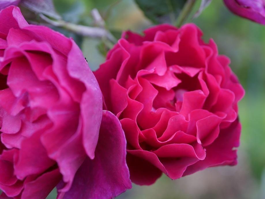 赤紫色の色味がよくわかる「オデュッセイア」の花色。