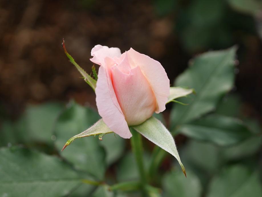 「ブライダル・ピンク」の2分咲き。