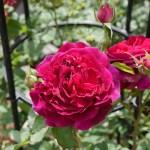 雄々しく猛る深紅の大蛇のようなバラ[ムンステッド・ウッド]の栽培実感